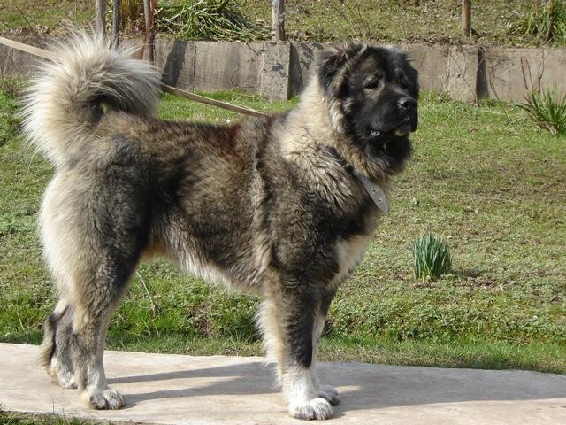 Caucasian Mountain Dog Puppies Cross