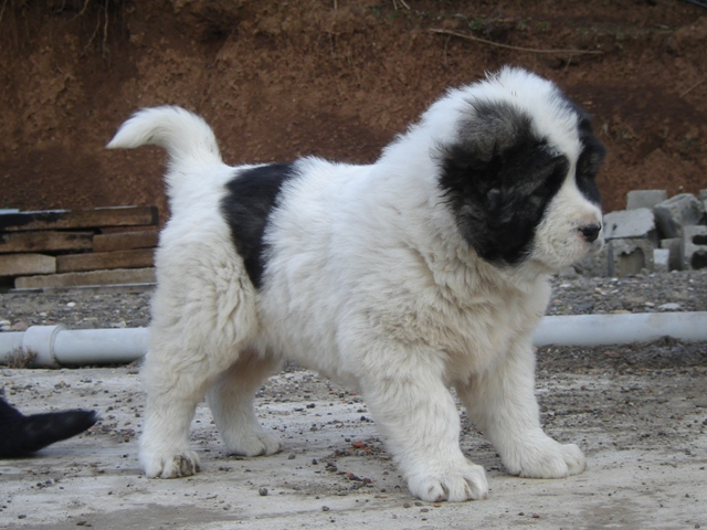 About dogs caucasian shepherd dogs georgia about
