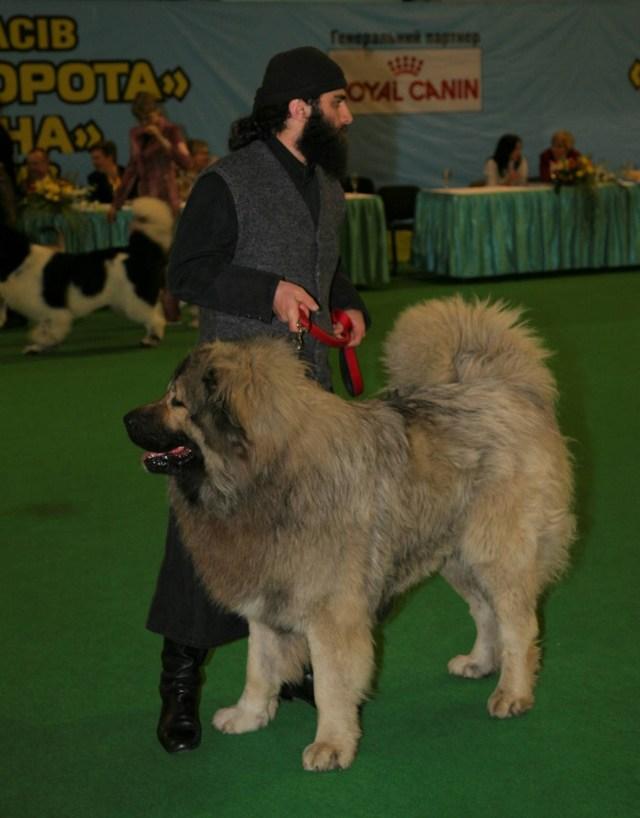 "Butkuna Tabakini - 'Best in Show' at the International Dog-show ""Golden Gate 2010"", Kiev, Ukraine"