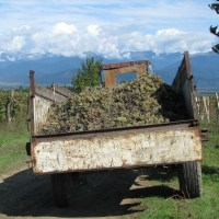 About Celebrations - Rtveli (Georgian Wine Harvest and Festivities)