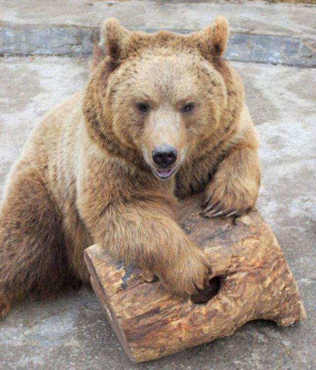 Brown Bear at Tbilisi Zoo