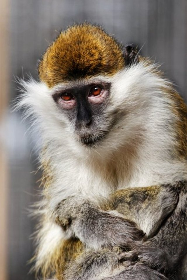Green Monkey at Tbilisi Zoo