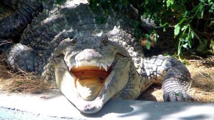 Nelson the Nile Crocodile at Tbilisi Zoo