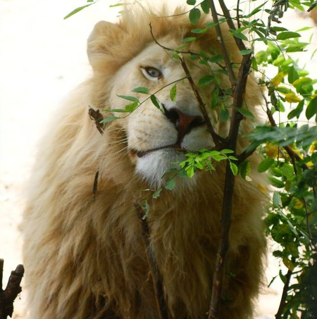 Samuel the Lion at Tbilisi Zoo