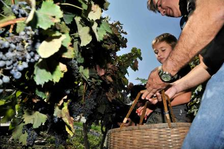 The Grape Harvest at President Saakashvili's Vineyard_1