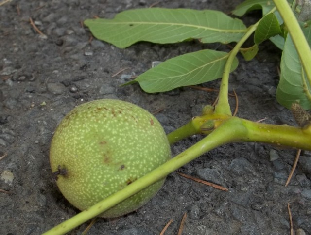 Unripe Walnut for Pickled Walnuts Recipe