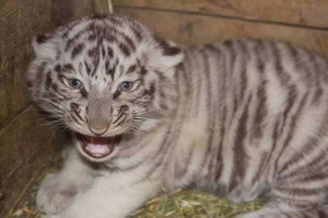 White Tiger born at Tbilisi Zoo