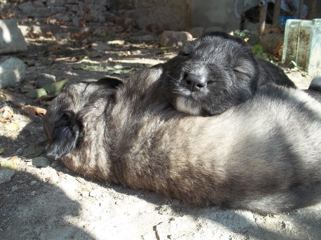 caucasian shepherd fully grown