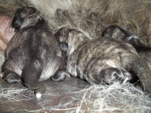 New born Caucasian Shepherd Dog Puppies