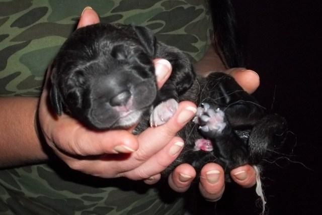 First Puppy 1 min past midnight October 8, 2013.