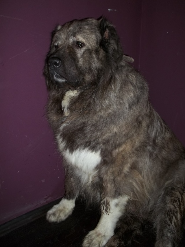 Bassa, our Female Caucasian Shepherd Dog and Mother of 7 Beautiful Puppies
