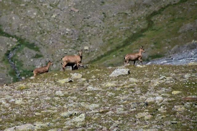 Chamois in Kazbegi National Park