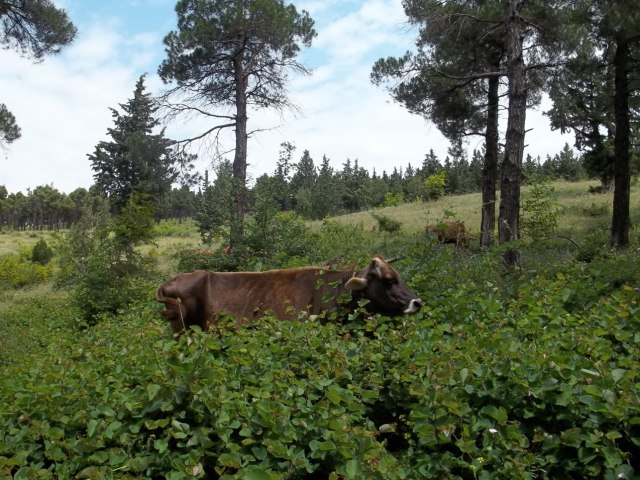 Cows grazing in Khudadov Forest