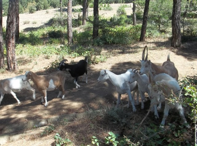Goats in Khudadov Forest in Tbilisi