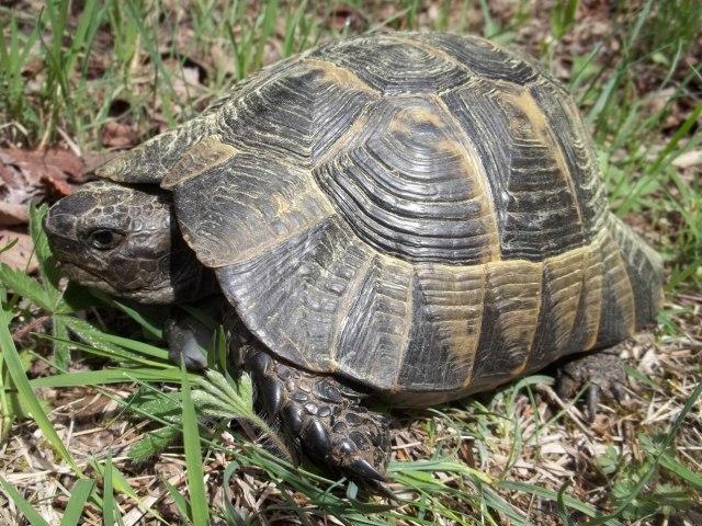 Khudadov Forest Tortoise
