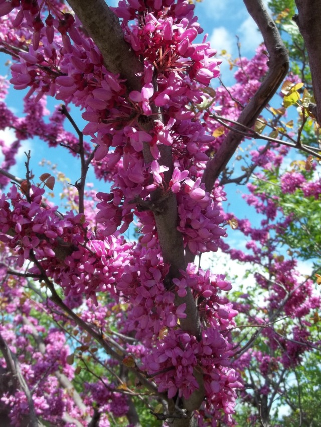 Tree Blossom in Khudadov Forest