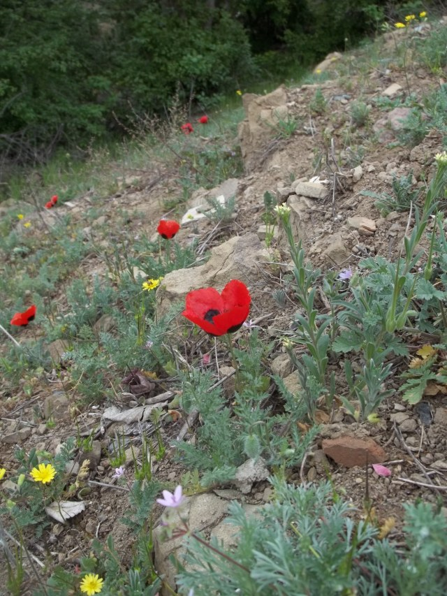 Wild Poppies in Khudadov Forest
