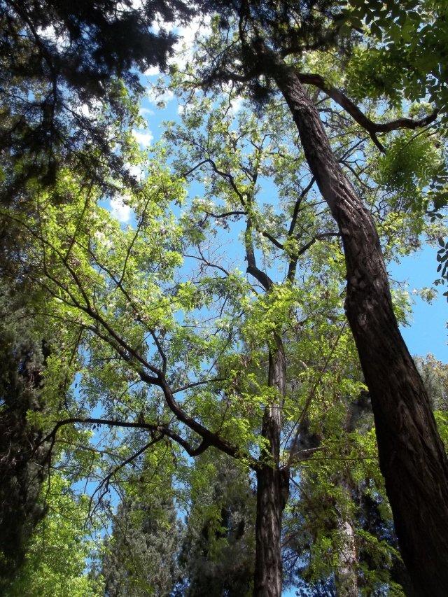 Mature trees in Djansug Kakhidze Park in Tbilisi