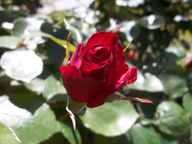 Red rose in Djansug Kakhidze Park