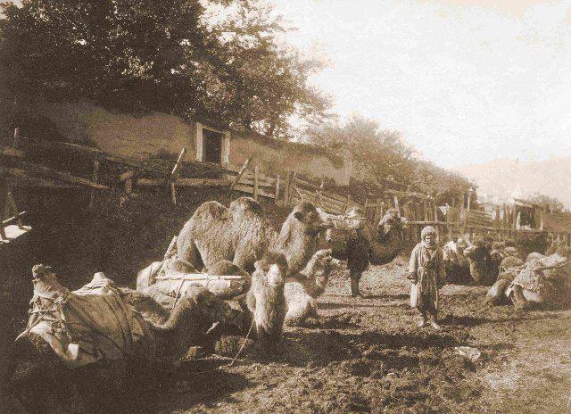 A camel caravan in Tiflis