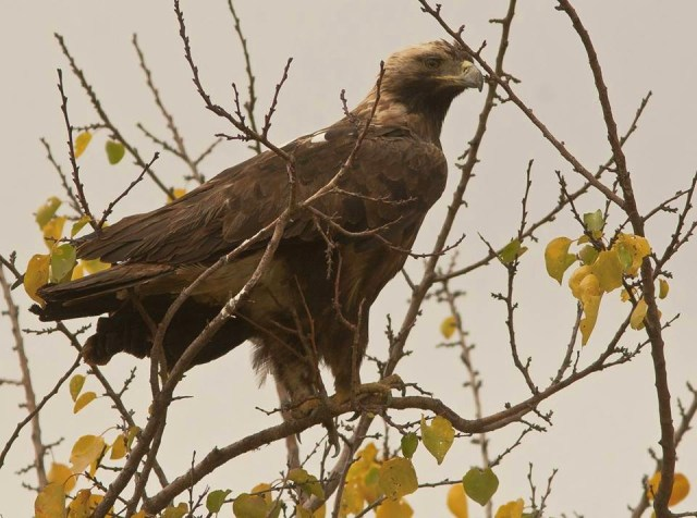 An eagle at the Chachuna Managed Reserve