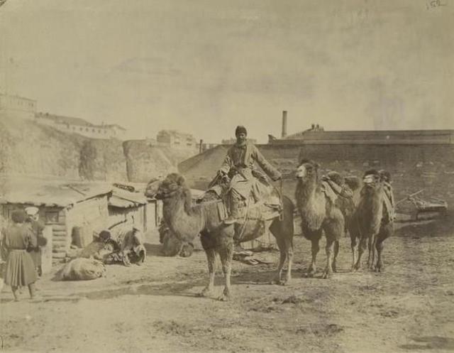 Camels in Tiflis